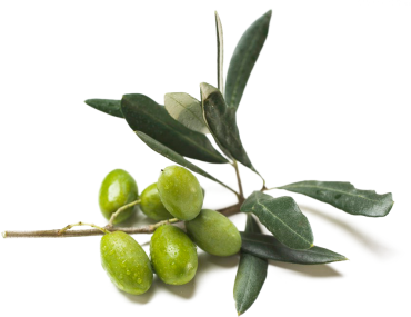 rama-olivo